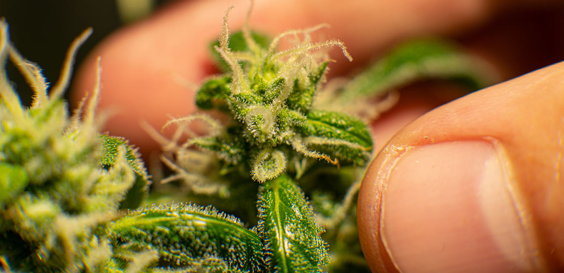 types-of cannabis-cannabis-close-up